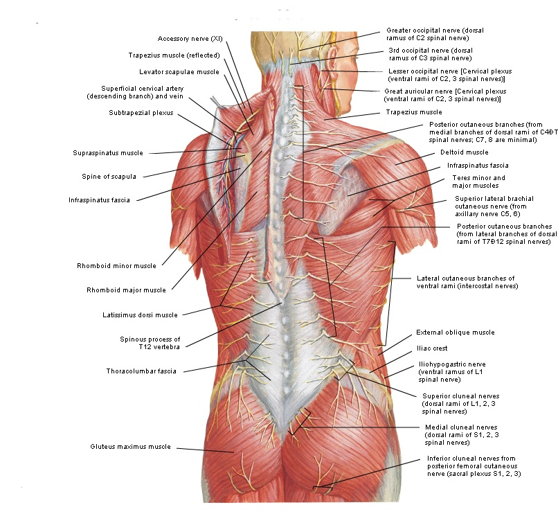 Therapeutic Massage on back muscle diagram front and torso anterior labeled anatomy